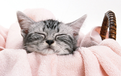 猫のフィラリア症予防